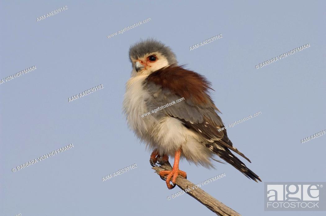 Stock Photo: Pygmy Falcon in tree, female, Samburu National Reserve, Kenya.